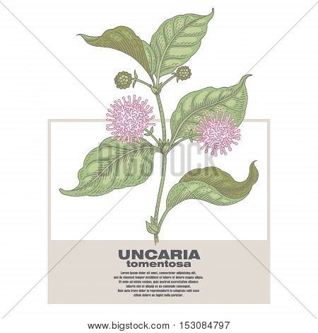 Uncaria tormentosa. Illustration of medical herbs. Isolated image on white background. Vector.