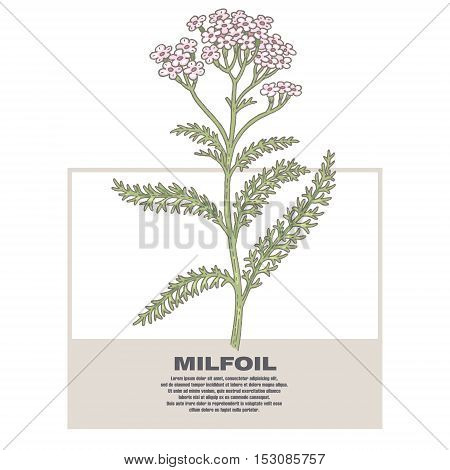 Milfoil. Illustration of medical herbs. Isolated image on white background. Vector.