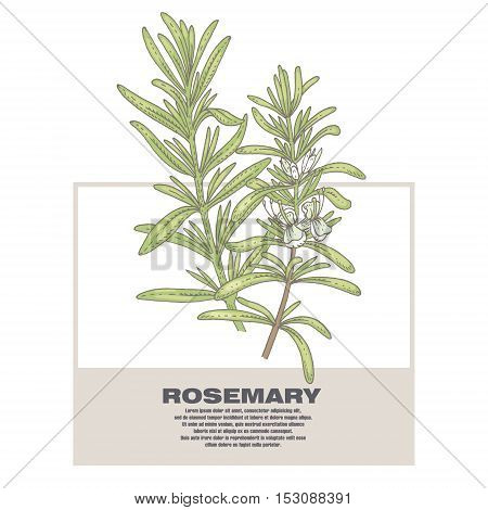 Rosemary. Illustration of medical herbs. Isolated image on white background. Vector.