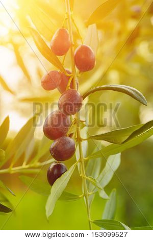Branch of olive tree with fruits and leaves, natural agricultural sunny food background