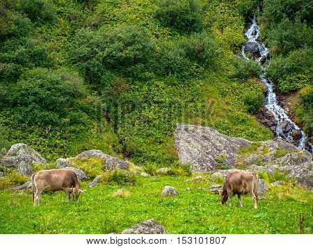 A herd of cows on mountain pasture in the Alps