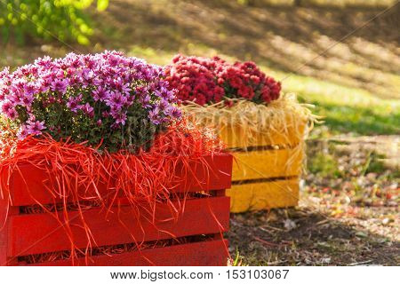 Fresh Chrysanthemums In A Colorful Wooden Box In The Garden