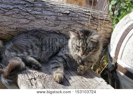 gray siberian cat lying on wood at summer day