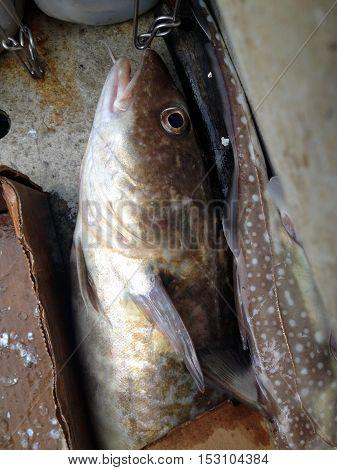 Fish Caught In Tongass Narrows Near Ketchikan, Alaska.