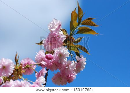 Flowering pink cherry blossom flowering against a blue sky.