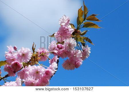 Blue sky with flowering cherry blossom trees.