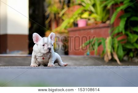 Young french bulldogs white sitting on the cement floor.