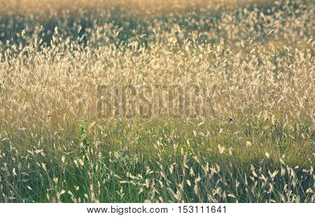 Autumn gold dry field at sunset, close up