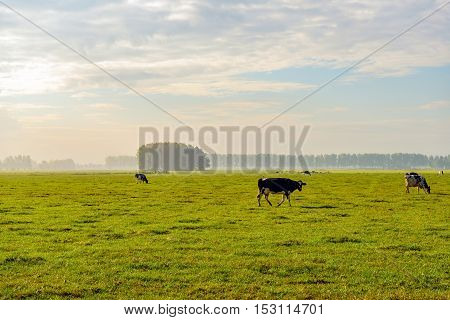 Black and white spotted cow walking in a large meadow on a sunny morning in the autumn season. The morning mist is still visible in the background at the trees.