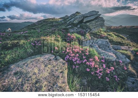 beauty rhododendron in high mountains, toned like Instagram filter