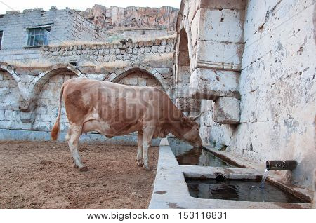 Cow drinking water from the village fountain
