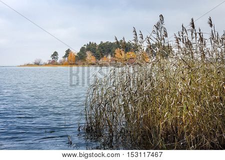 Autumn Landscape With A Cane On The Coast Of The Ob River In Siberia