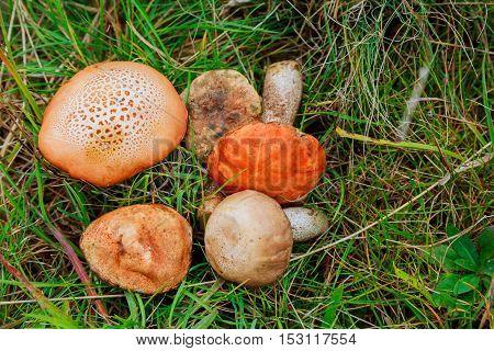 Wild Mushrooms In The Grass