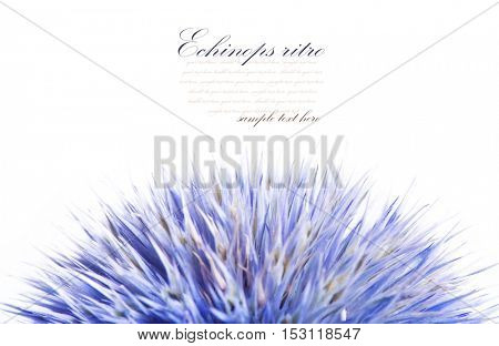 Echinops ritro isolated on white background.