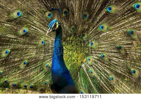 Lovely Indian Peacock bird with open feathers plumage at Kolkata zoo.