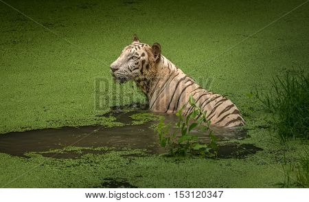 A White tiger submerged in the waters of a swamp at Sunderban tiger reserve.