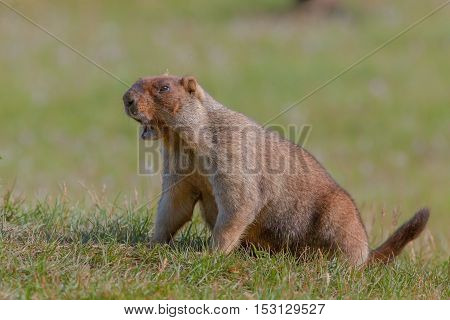 Beautiful Marmots On The Green Meadow