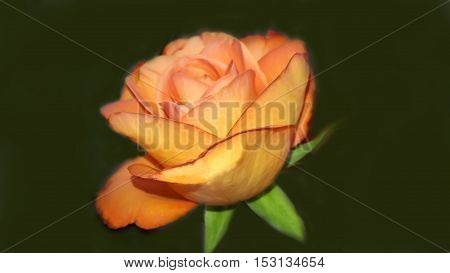 Perfect fresh orange rose on black background