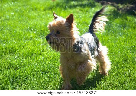 Small dog on garden. Prepared for some fun games with kids. Yorkshire terrier. Animal friend. Sunlight effect.