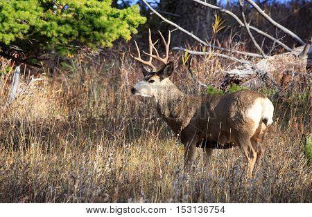 Mule deer buck with 4 points in Montana.