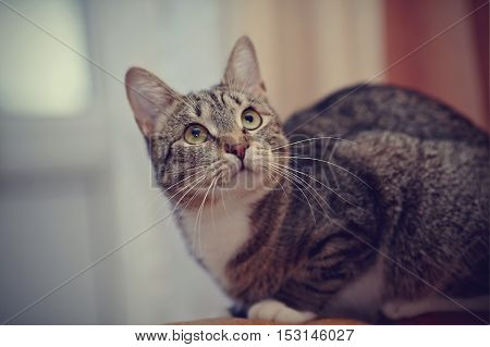 Gray striped domestic cat with white moustaches.
