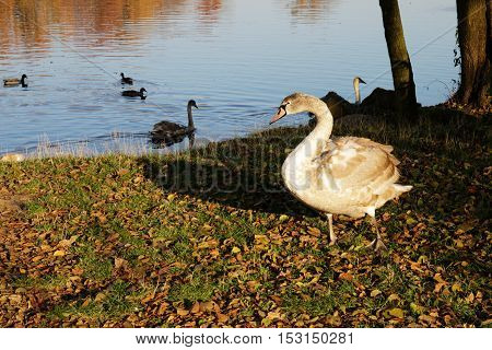 young swan with auburn feathers near pond with yellow leaves