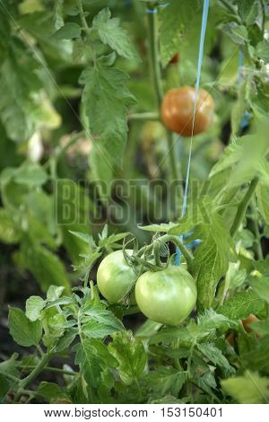 An image of tomato field in spring time