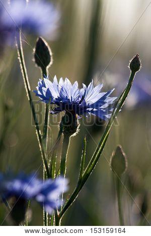 Purple Cornflowers In The Grass A