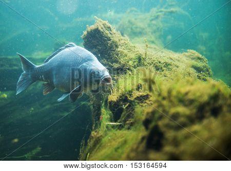 Clsoe Up On Cyprinus Carpio In Fresh Water