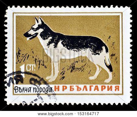 BULGARIA - CIRCA 1964 : Cancelled postage stamp printed by Bulgaria, that shows German Shepherd.