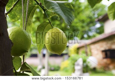 Two lemons in a backyard. Selective focus