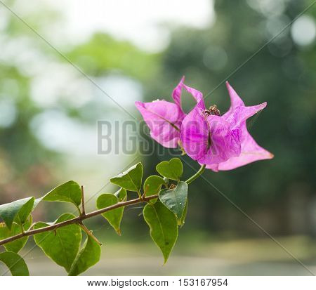 Lagerstroemia Flower or Bang lang flower vietnamese. Flower summer in Vietnam