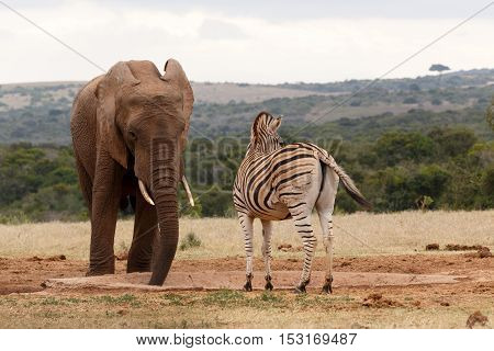 Zebra Looking Away While The Elephant Is Drinking Water