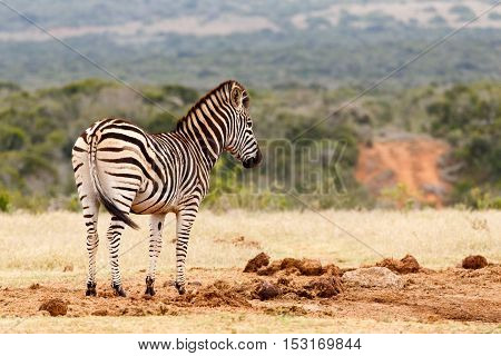Zebra Standing At The Empty Watering Hole