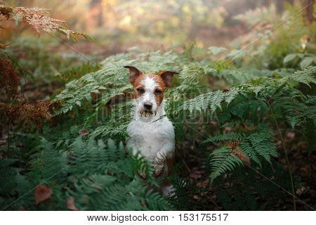 Jack Russell Terrier standing in a fern wet and sad dog