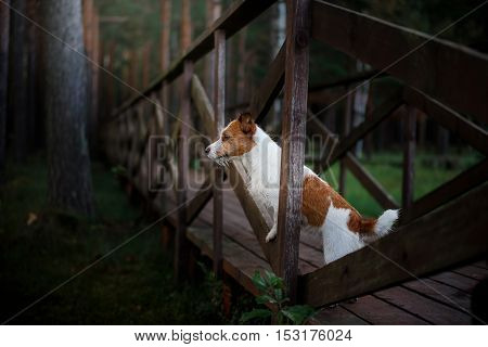 A Dog Standing On The Bridge And Looks Forward. Jack Russell Terrier