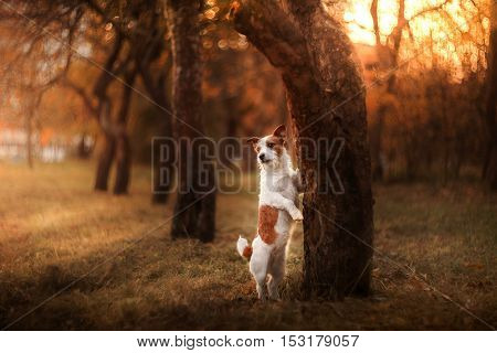 Dog Standing Near A Tree And Sad, Jack Russell Terrier