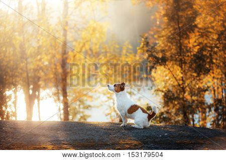 Jack Russell Terrier Sitting In Front Looks
