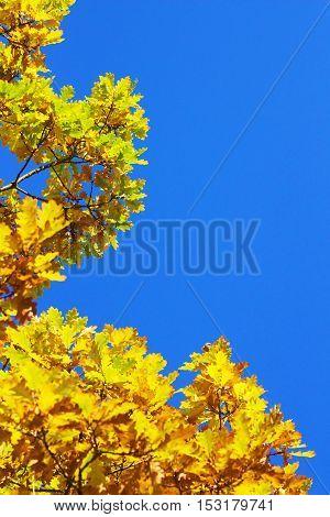 Löv i höstfärger mot en krispigt blå himmel.