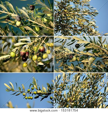 an image of olive trees