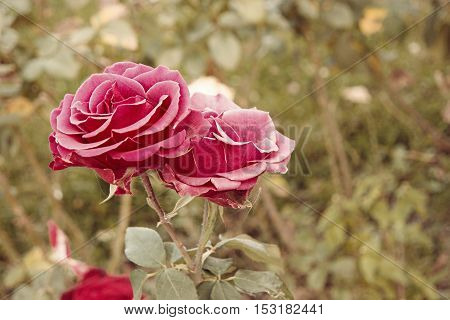 Pink roses in autumn garden. Two rose flowers dying in fall, a lot of space for text. Selective focus. Vintage color.
