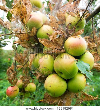 Branch of Green apple with worm hole hanging from tree