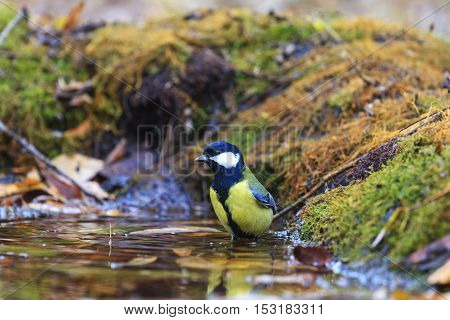 great tit on watering, birds drink water puddle autumn, fallen leaves, colorful leaves, bird migration