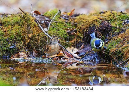 Brambling and great tit on watering, birds drink water puddle autumn, fallen leaves, colorful leaves, bird migration