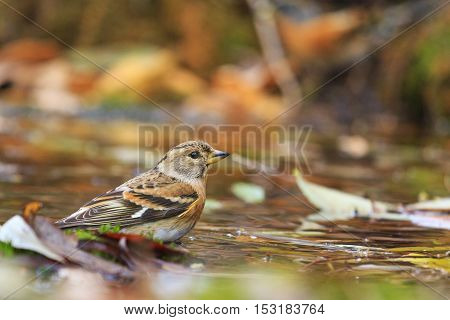 Brambling on the water among fallen leaves, birds drink water puddle autumn, fallen leaves, colorful leaves, bird migration