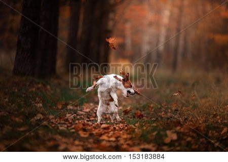 Dog Jack Russell Terrier Jump Over The Leaves