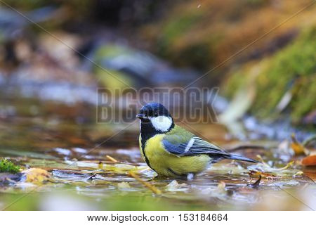 Great tit on the water among fallen leaves, birds drink water puddle autumn, fallen leaves, colorful leaves, bird migration