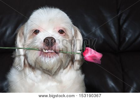 Lhasa apso dog holding a flower in his mouth, showing his teeth in a romantic scene with a black background. Romantic dog aligned left.