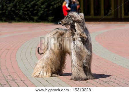 Afghan Hound looks back.  The Afghan Hound is in the park.