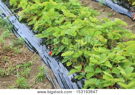 Seedlings Growing Strawberries With Protective Sheeting